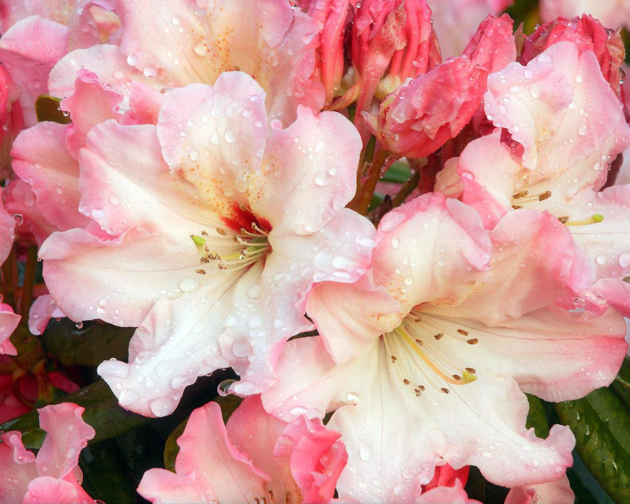 HD Wallpapers Flower Drops