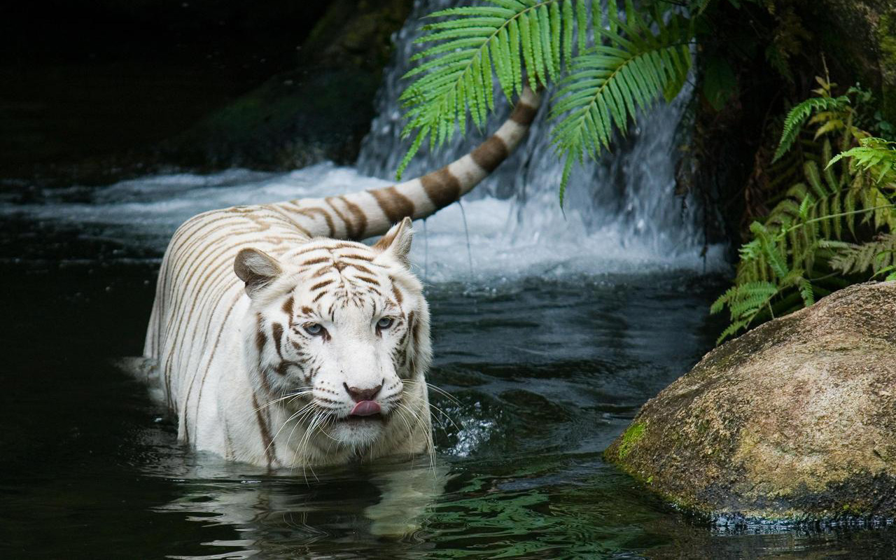 HD Wallpapers White Tiger Beautiful