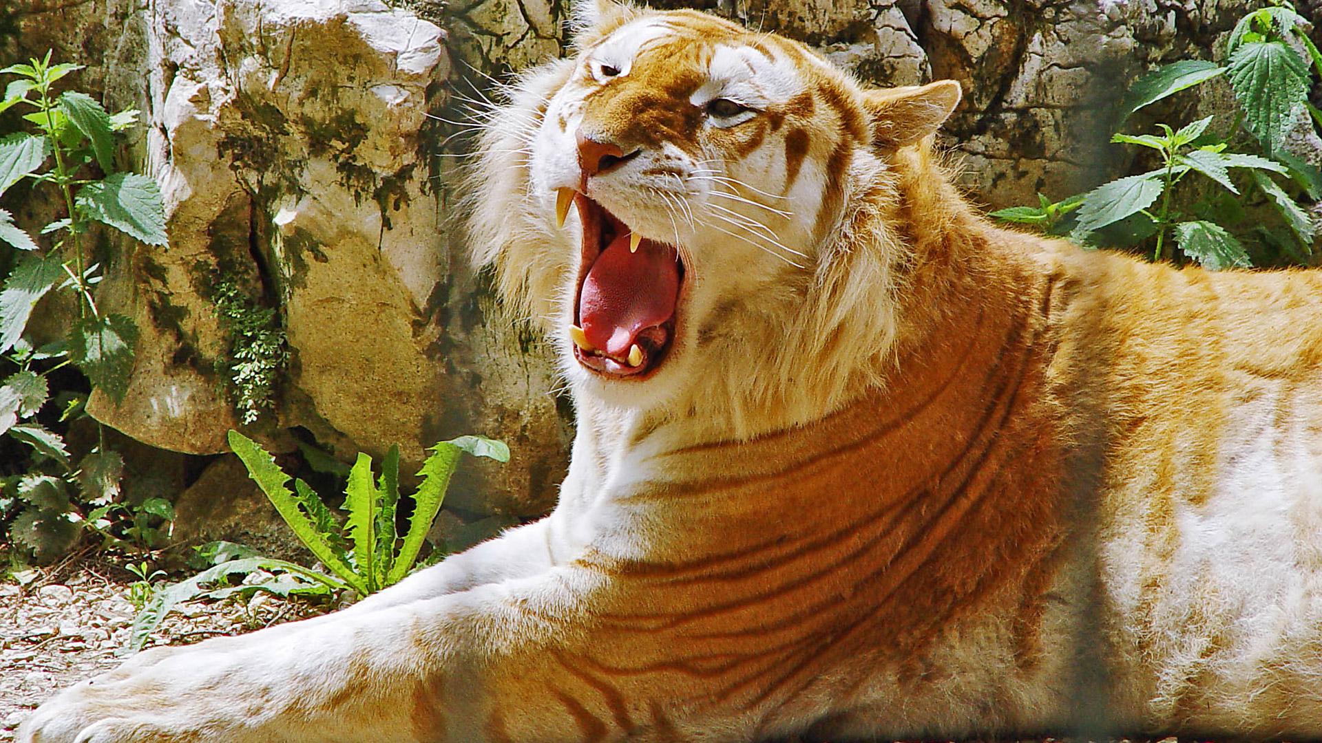HD Wallpapers Golden Tiger HDTV 1080p