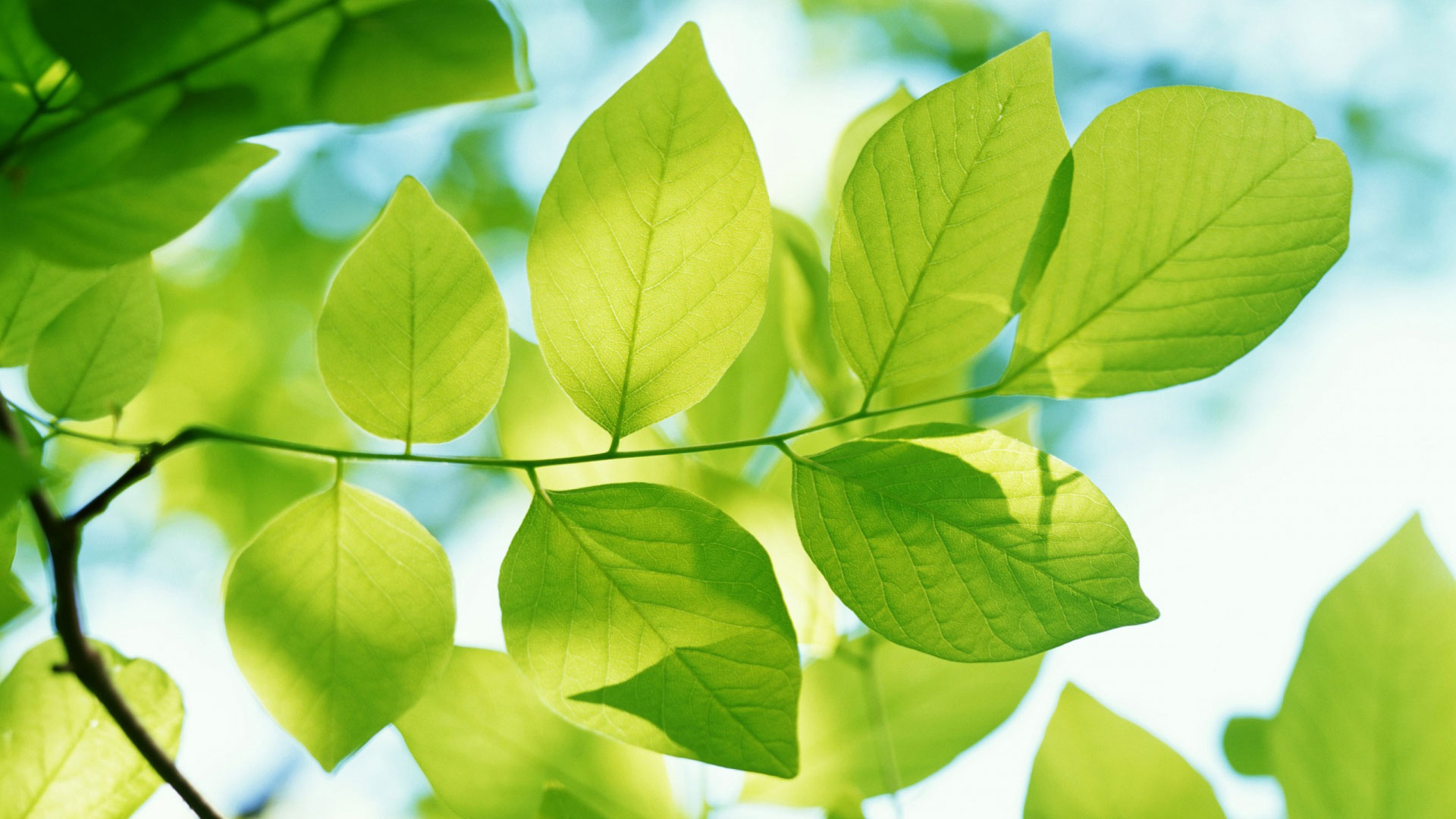 HD Wallpapers Green Leaves