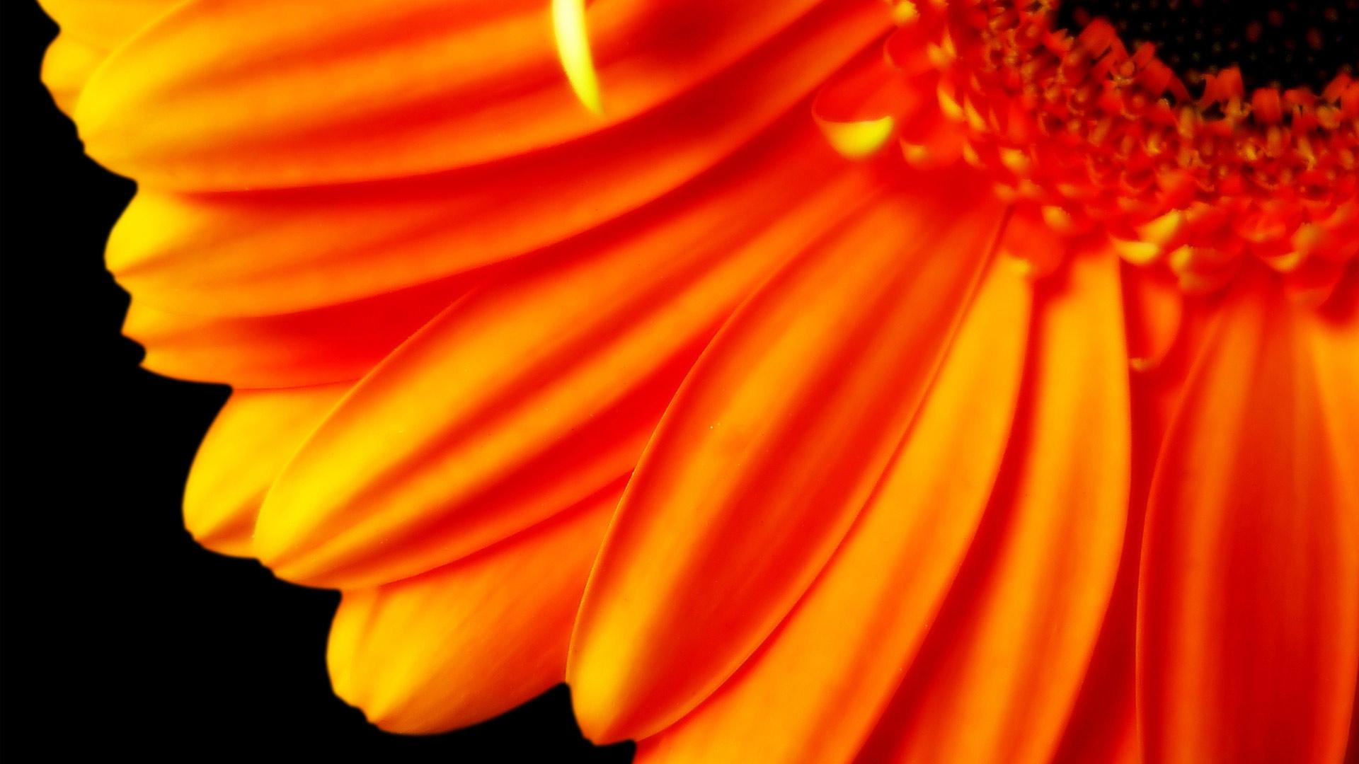 HD Wallpapers Pure Orange Flower 1080p