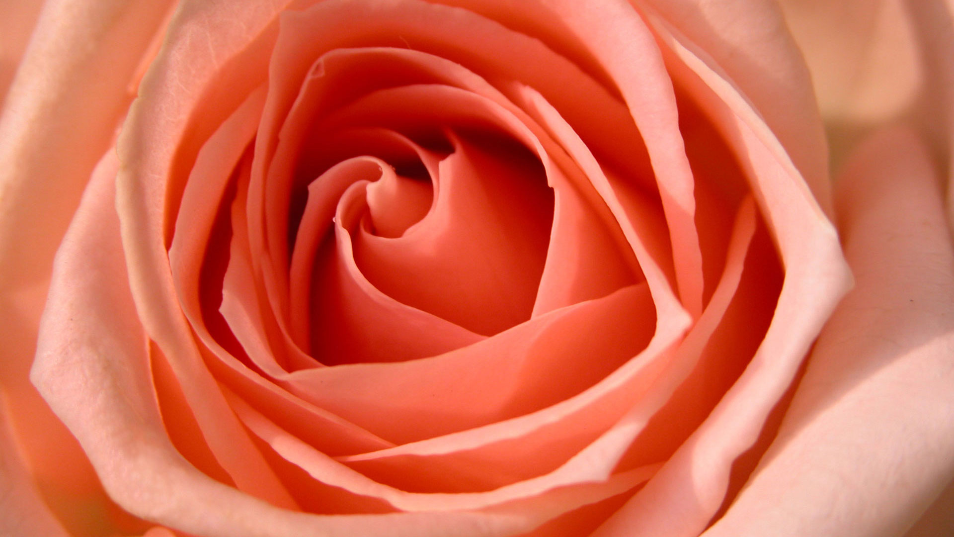 HD Wallpapers Rose HDTV 1080p