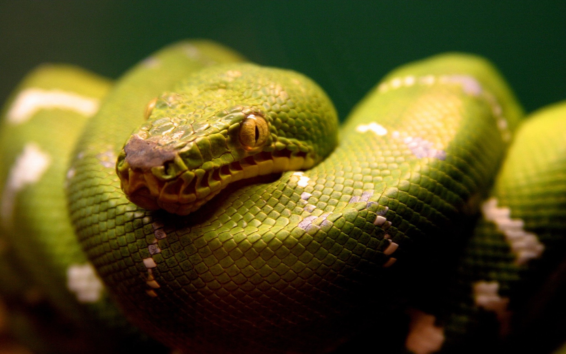 HD Wallpapers A Green Snake