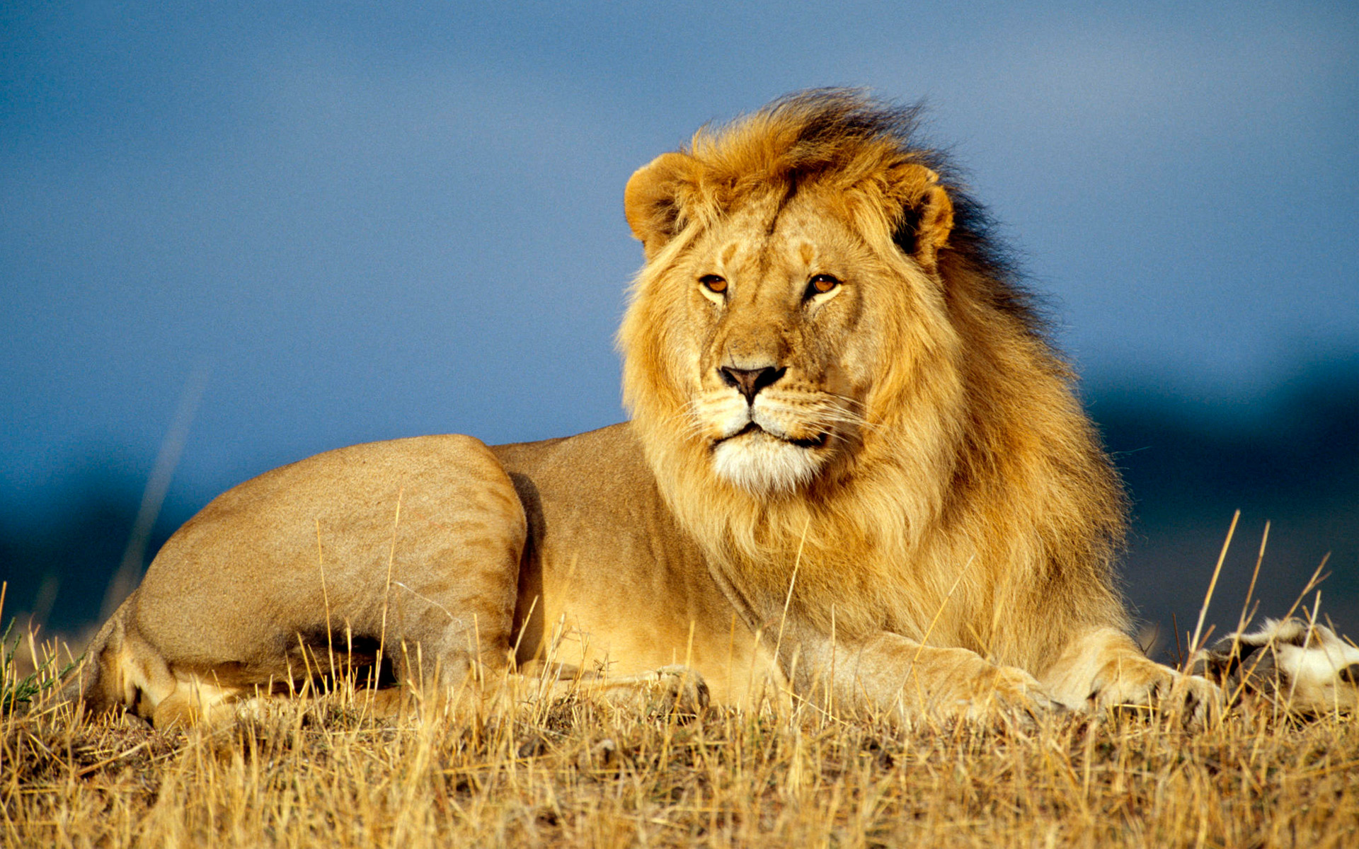 HD Wallpapers African Lion King