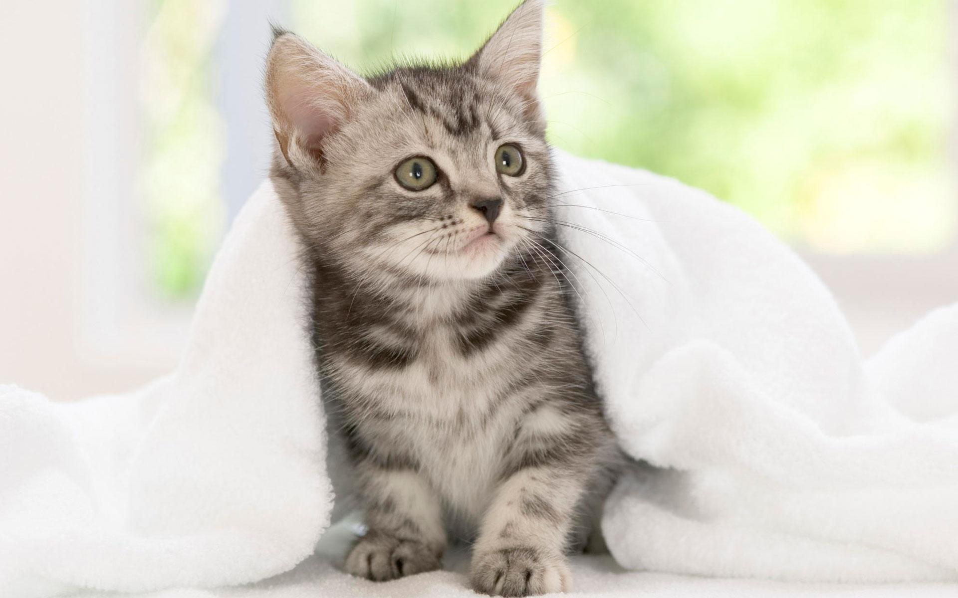 HD Wallpapers American Shorthair Kitten