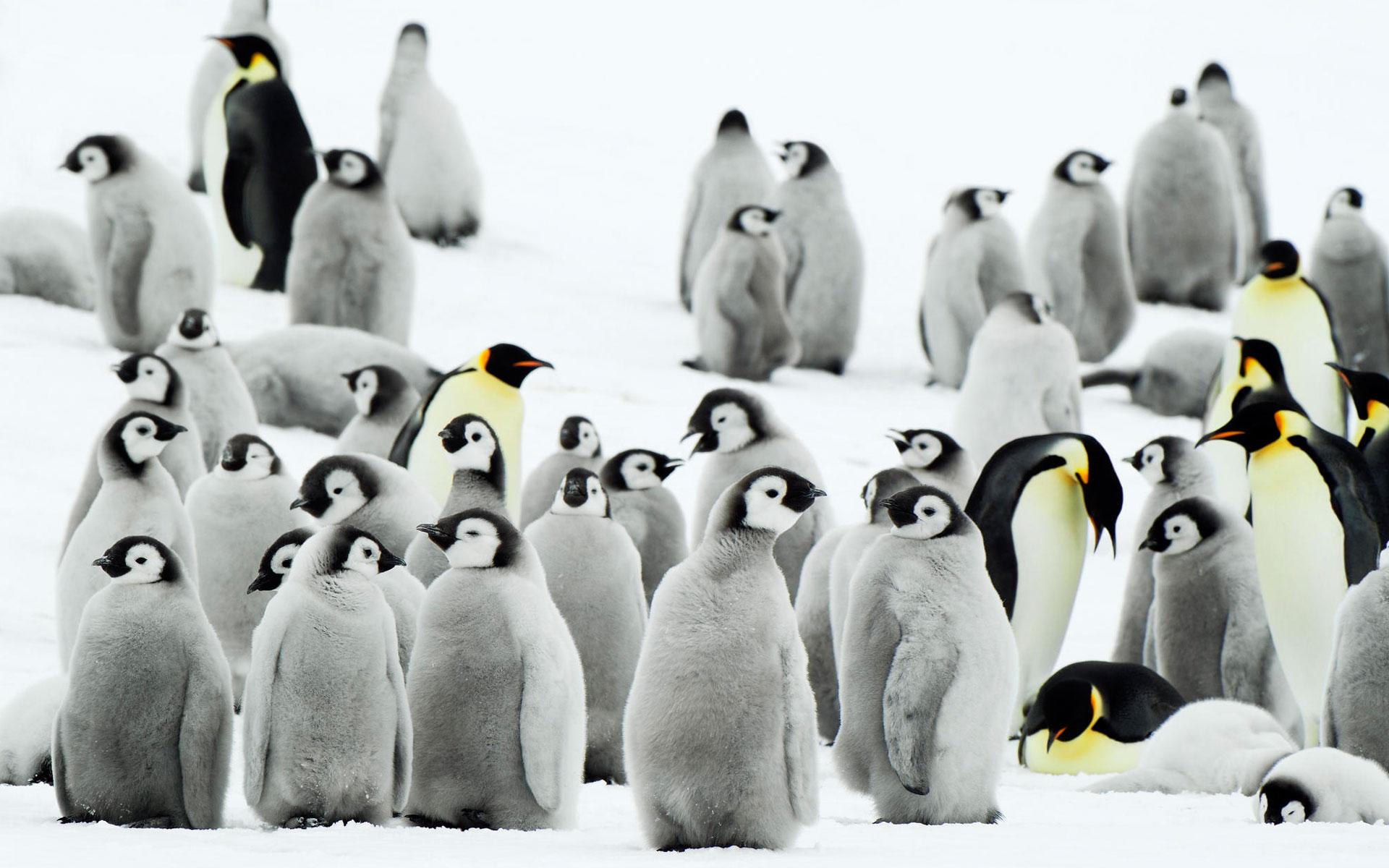 HD Wallpapers Antarctica Penguins