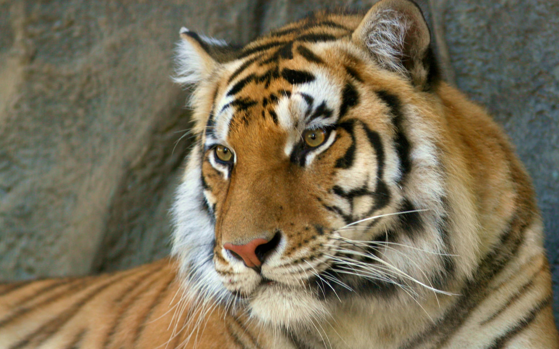 HD Wallpapers Bengal Tiger
