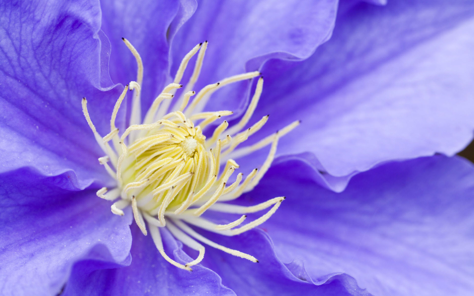 HD Wallpapers Clematis