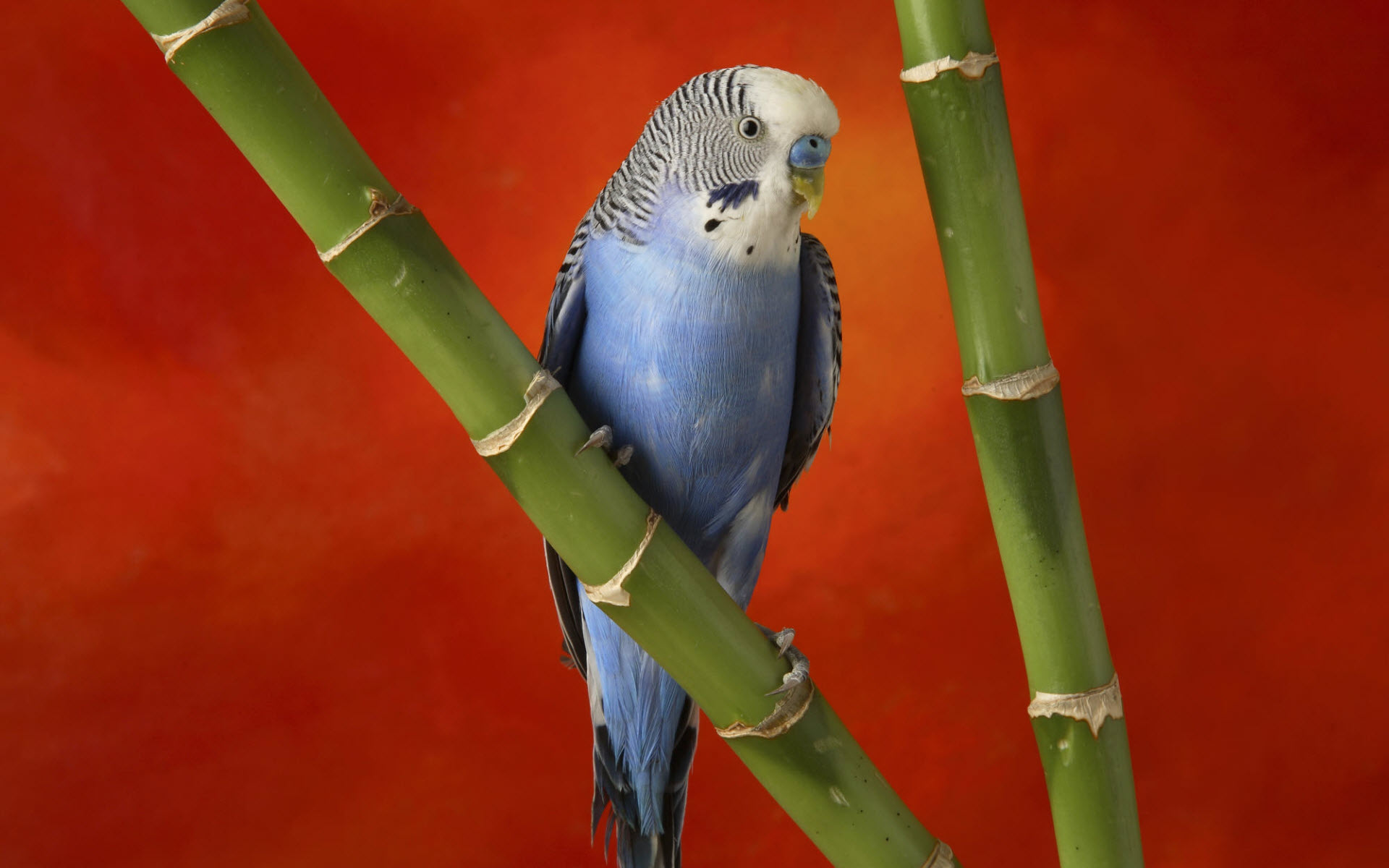 HD Wallpapers Colorful Budgerigar