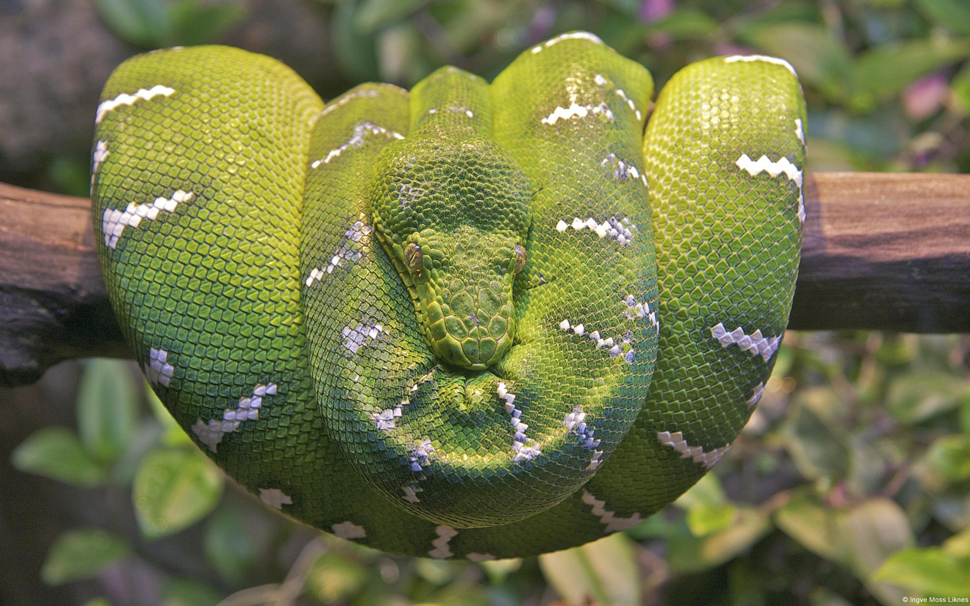 HD Wallpapers Emerald Tree Boa Snake