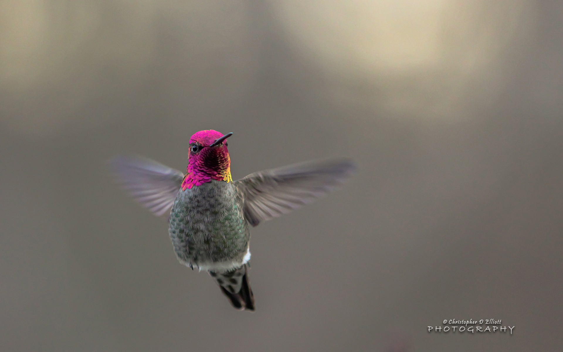HD Wallpapers Flying Hummingbird
