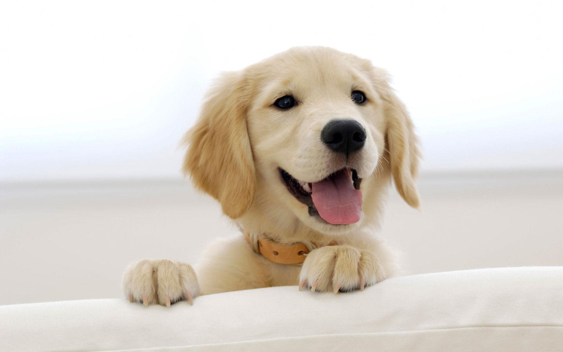 HD Wallpapers Golden Retriever Puppy