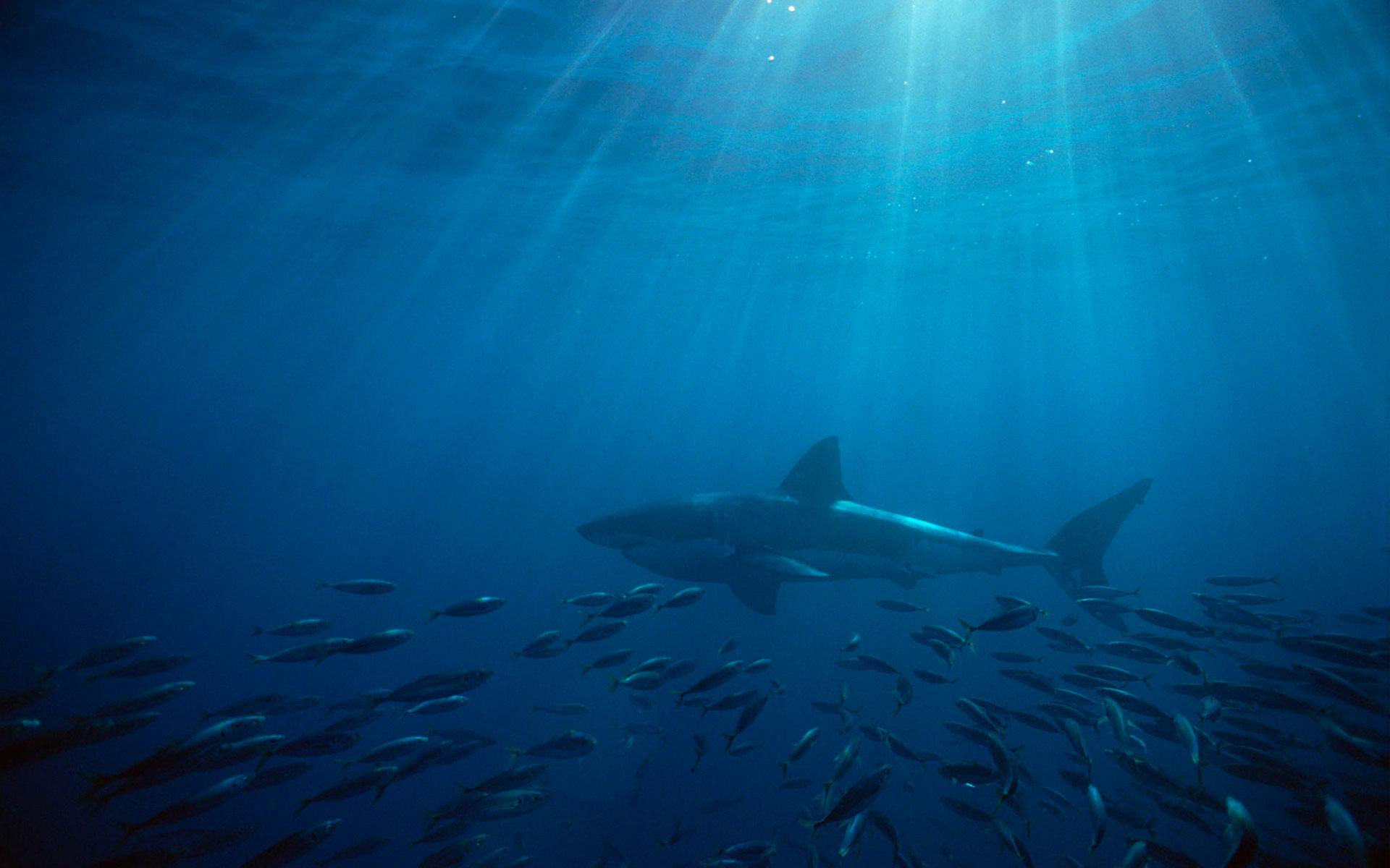 HD Wallpapers Great White Shark Australia