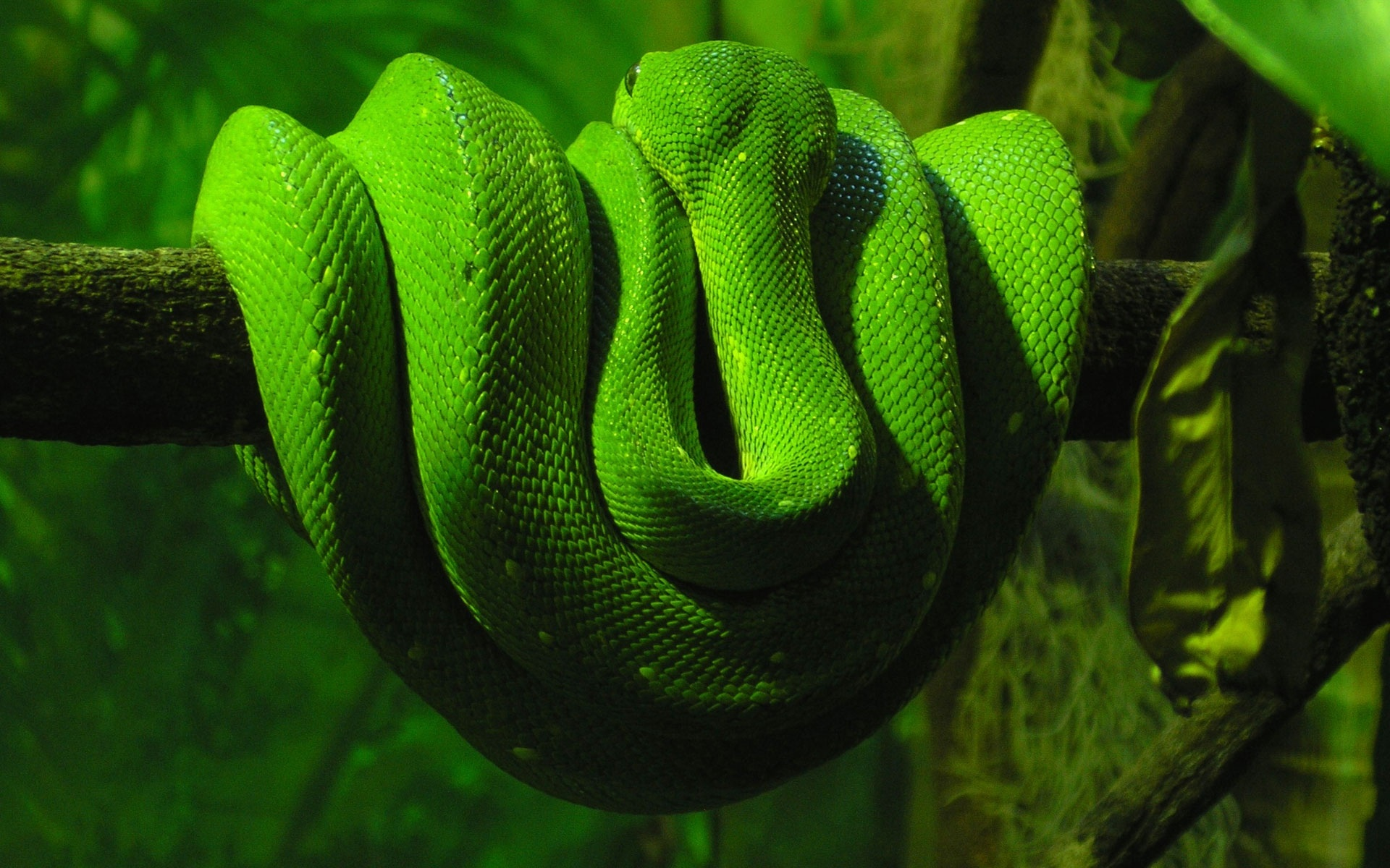 HD Wallpapers Green Snake
