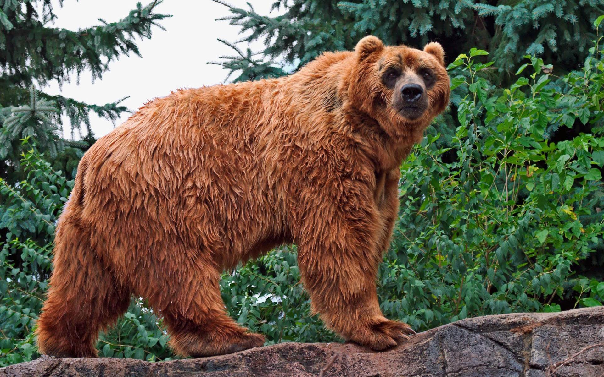 HD Wallpapers Kodiak Bear