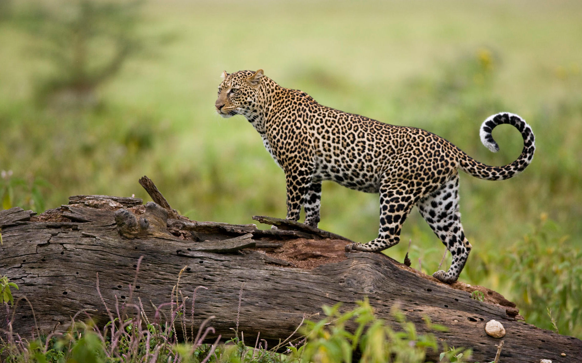HD Wallpapers Leopard Kenya
