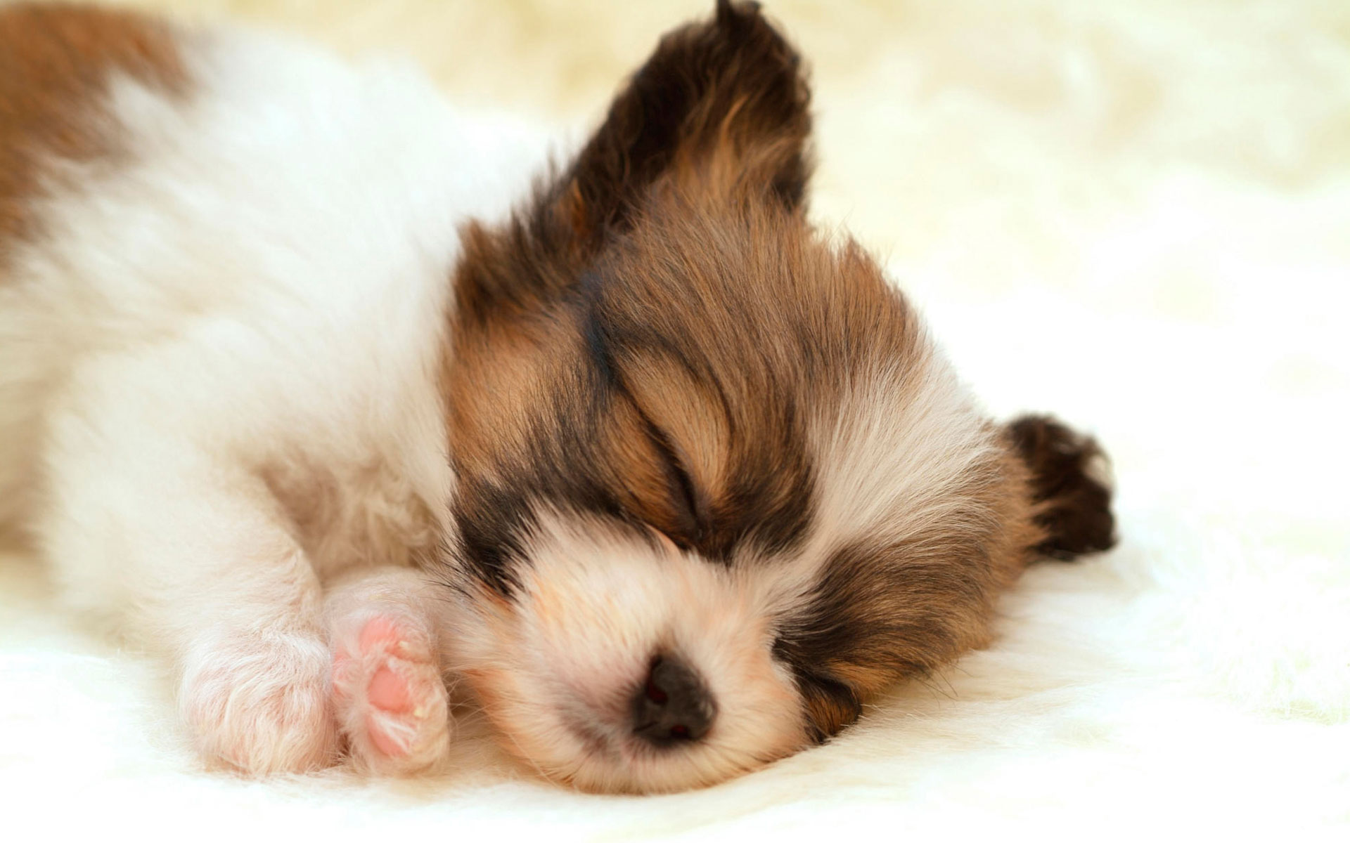 HD Wallpapers Papillon Puppy