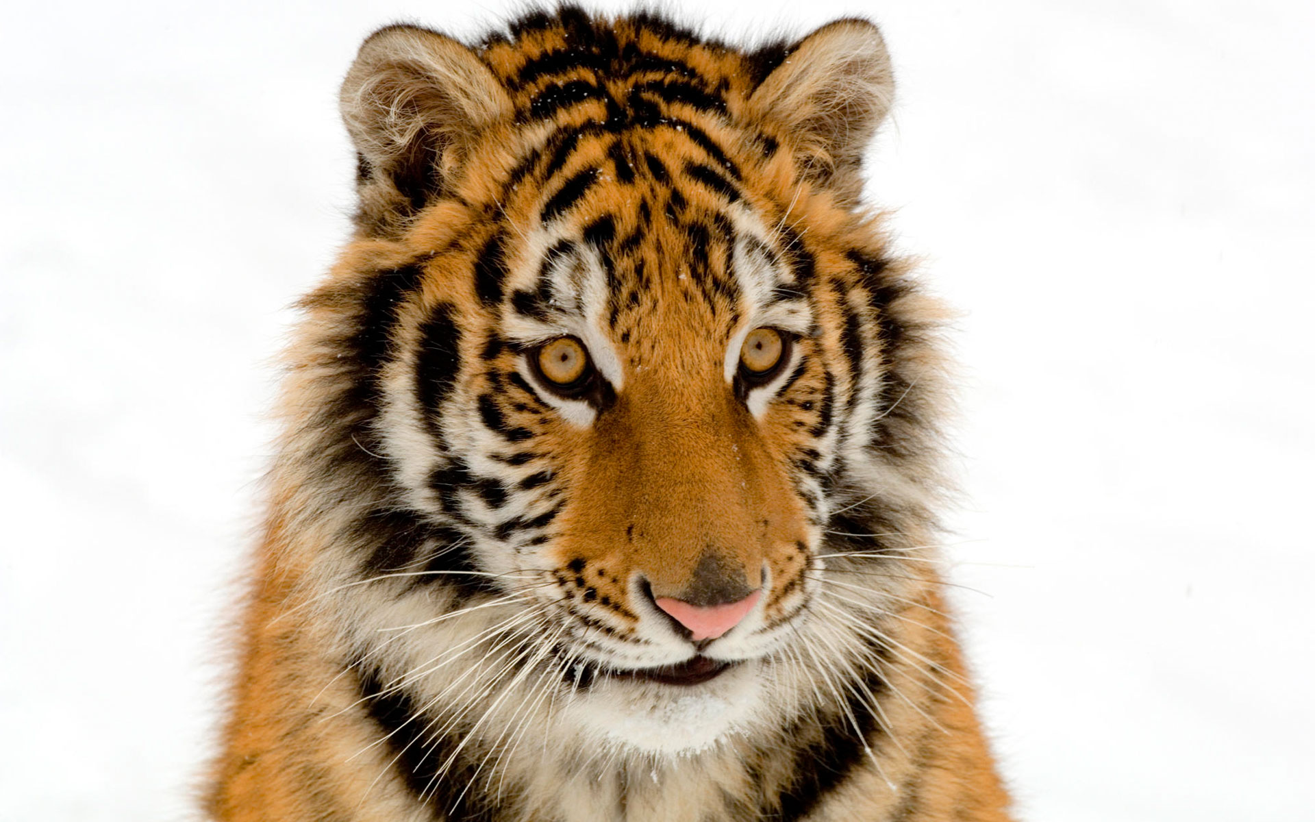 HD Wallpapers Portrait of a Tiger