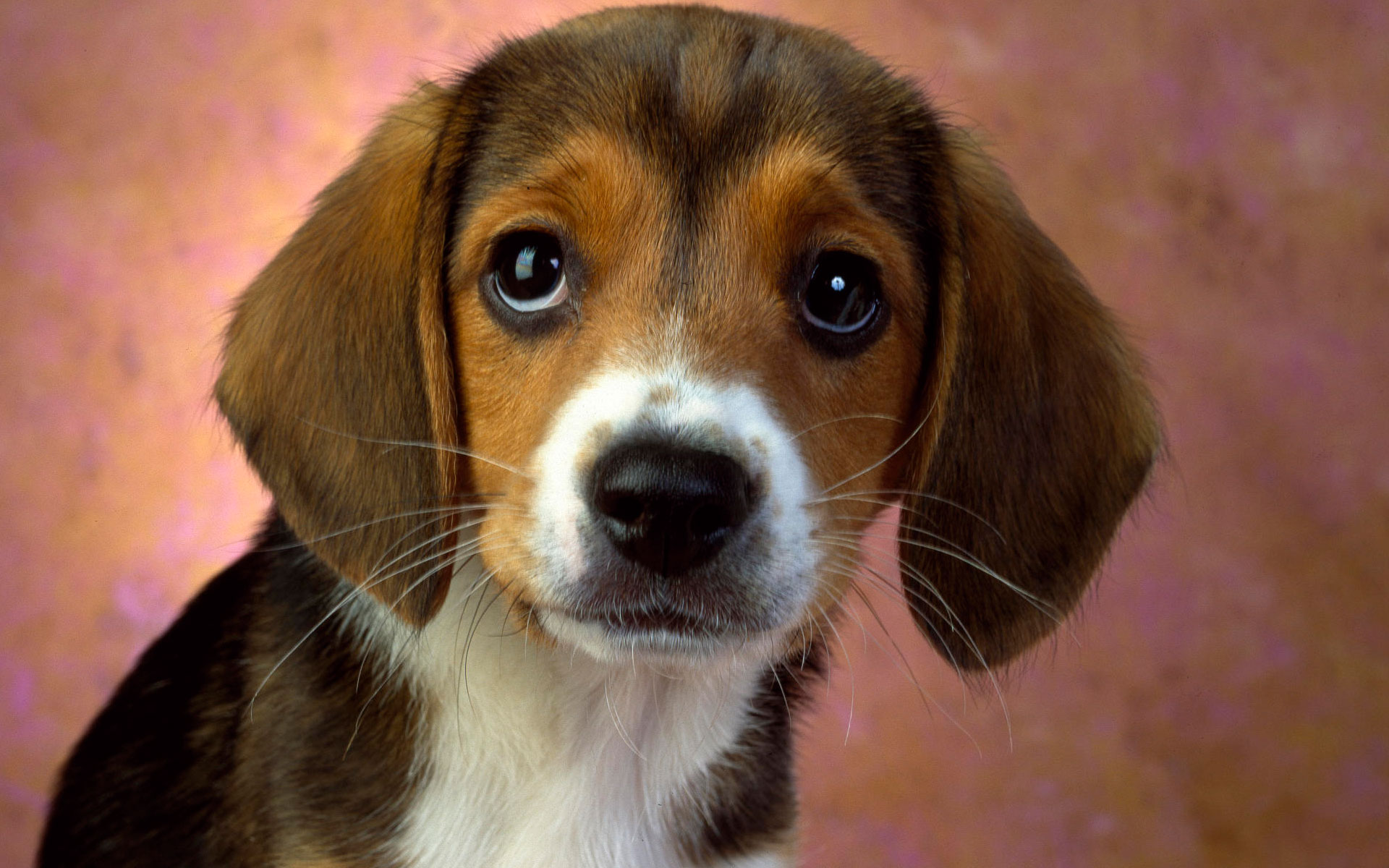 HD Wallpapers Puppy Eyes Beagle