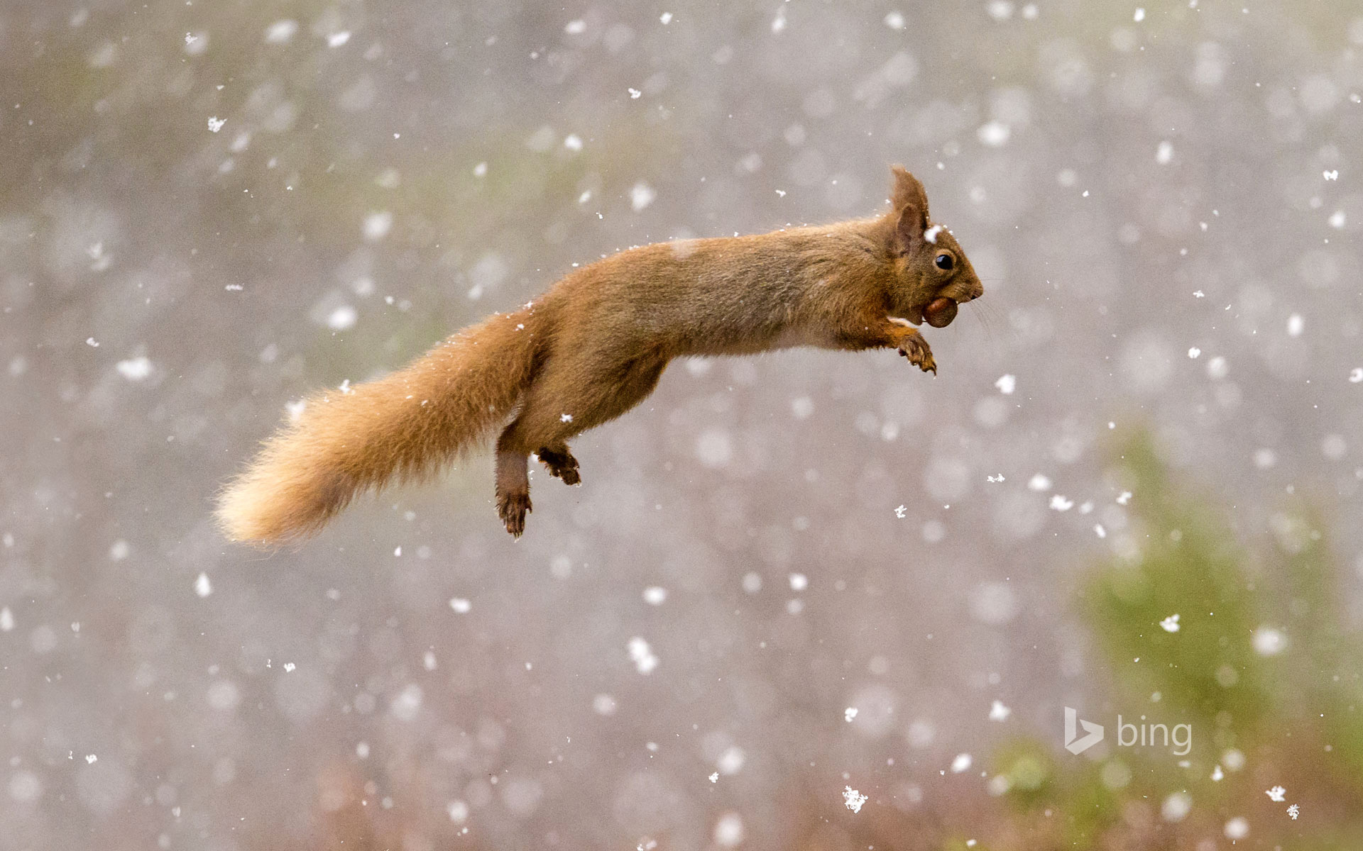 HD Wallpapers Red Squirrel