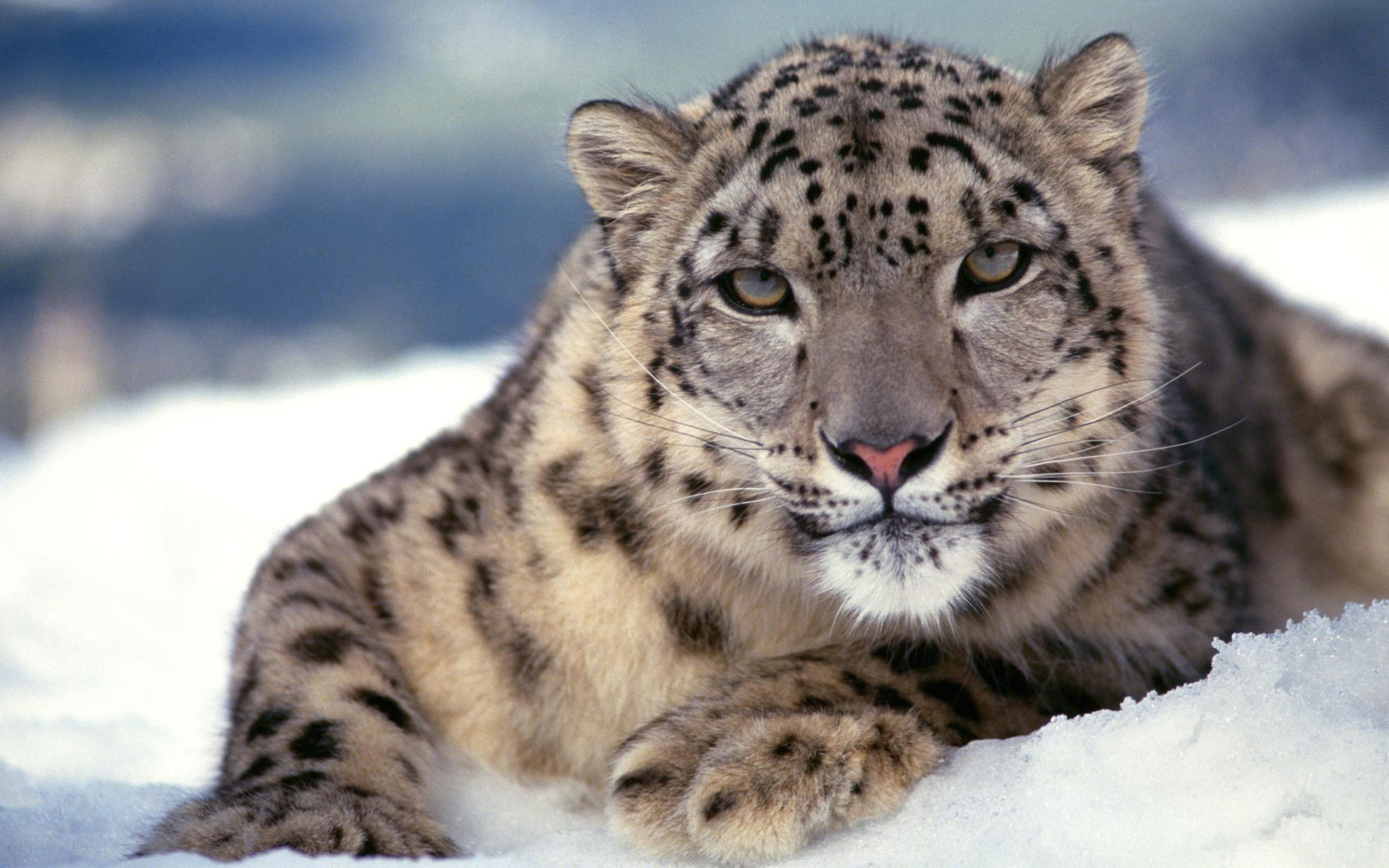 HD Wallpapers Scary Snow Leopard