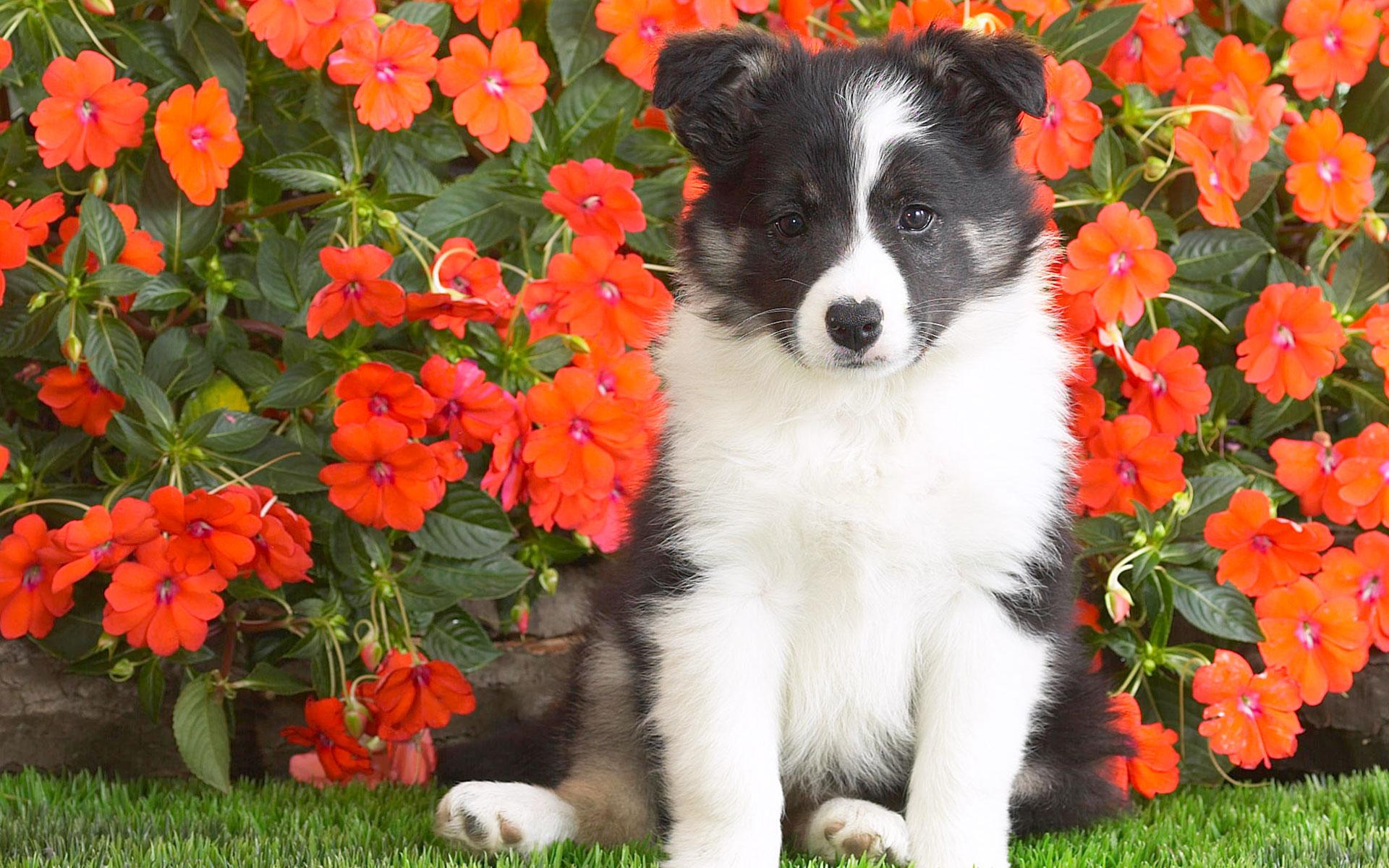 HD Wallpapers Shetl Sheepdog Puppy
