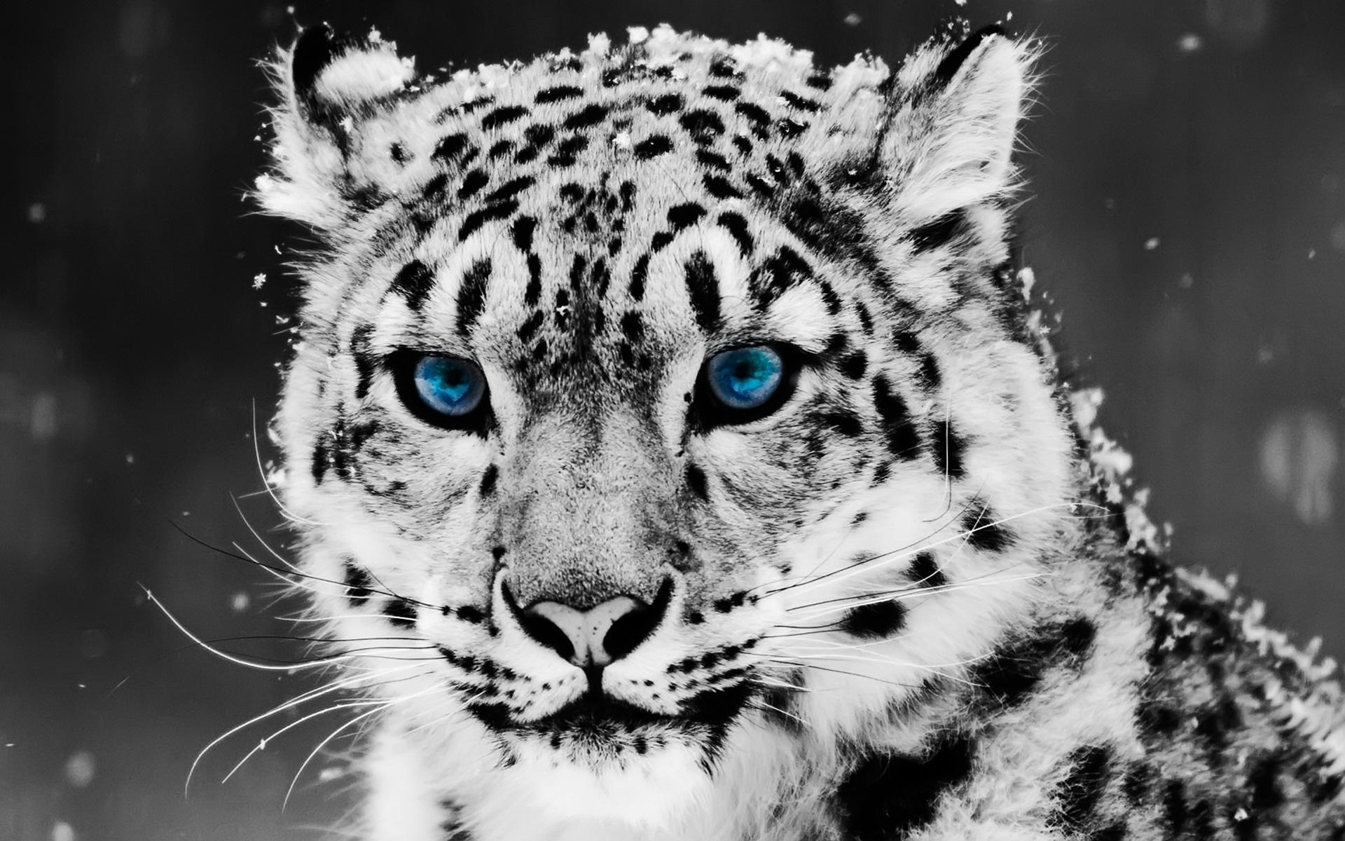 HD Wallpapers Snow Blue Eye Leopard