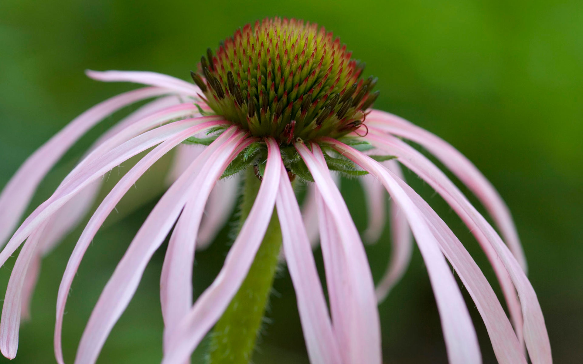 HD Wallpapers Tennessee Coneflower