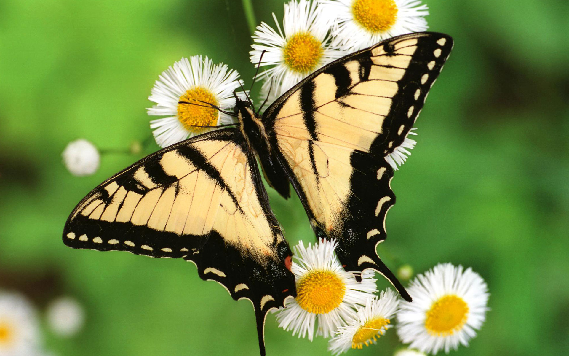 HD Wallpapers Tiger Swallowtail Butterfly
