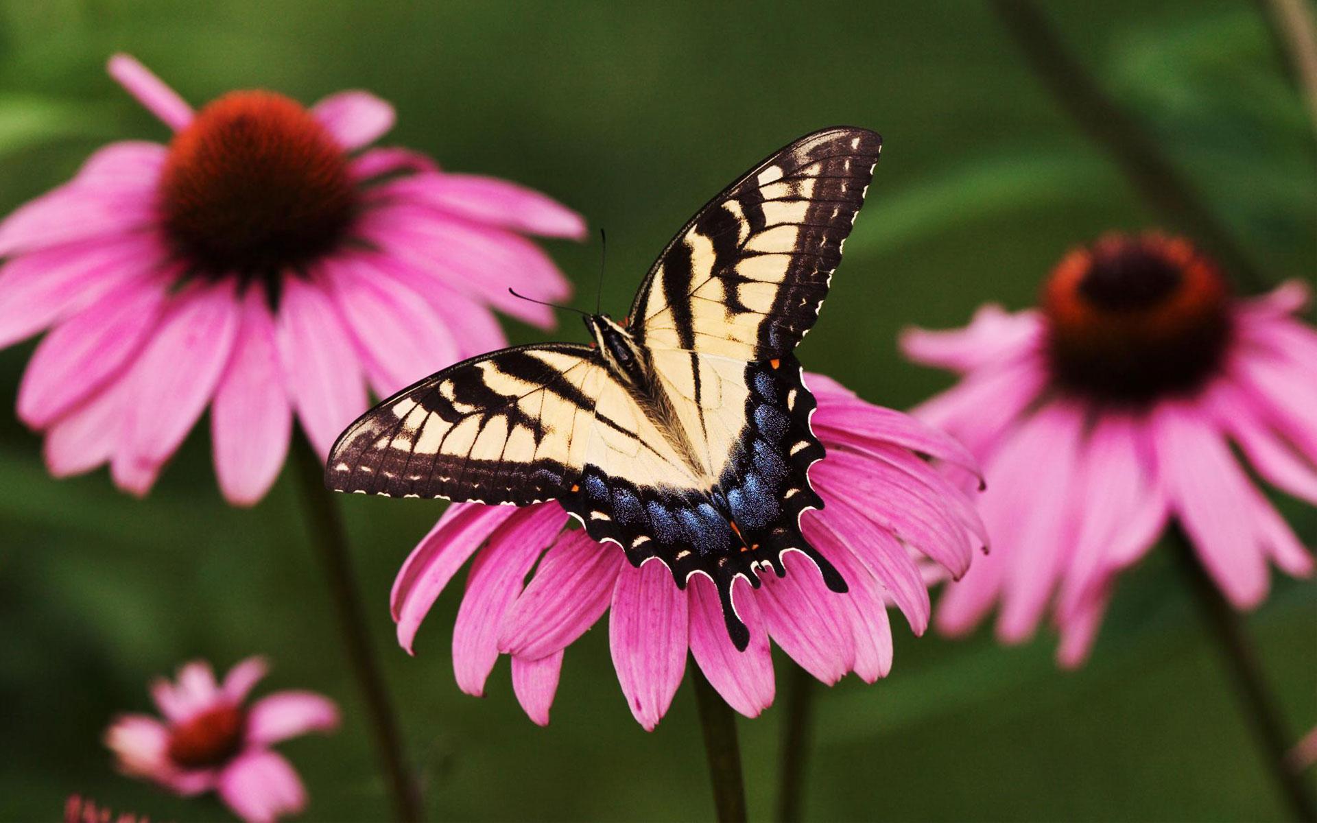 HD Wallpapers Tiger Swallowtail Butterfly Purple Coneflower