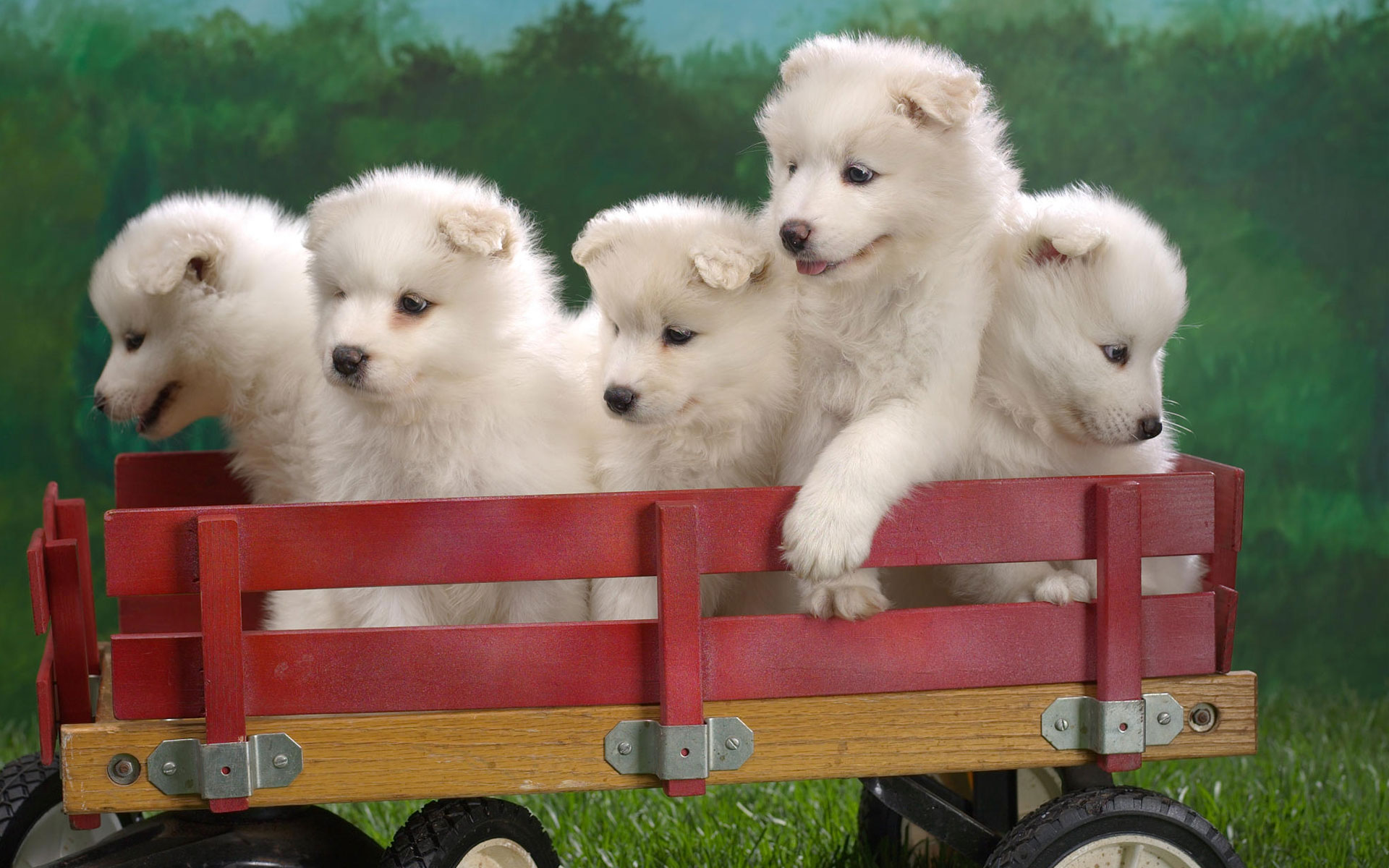 HD Wallpapers Wagonload of Samoyed Puppies