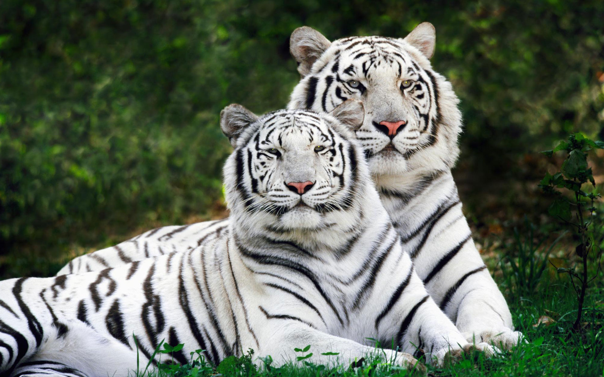HD Wallpapers White Bengal Tigers Widescreen