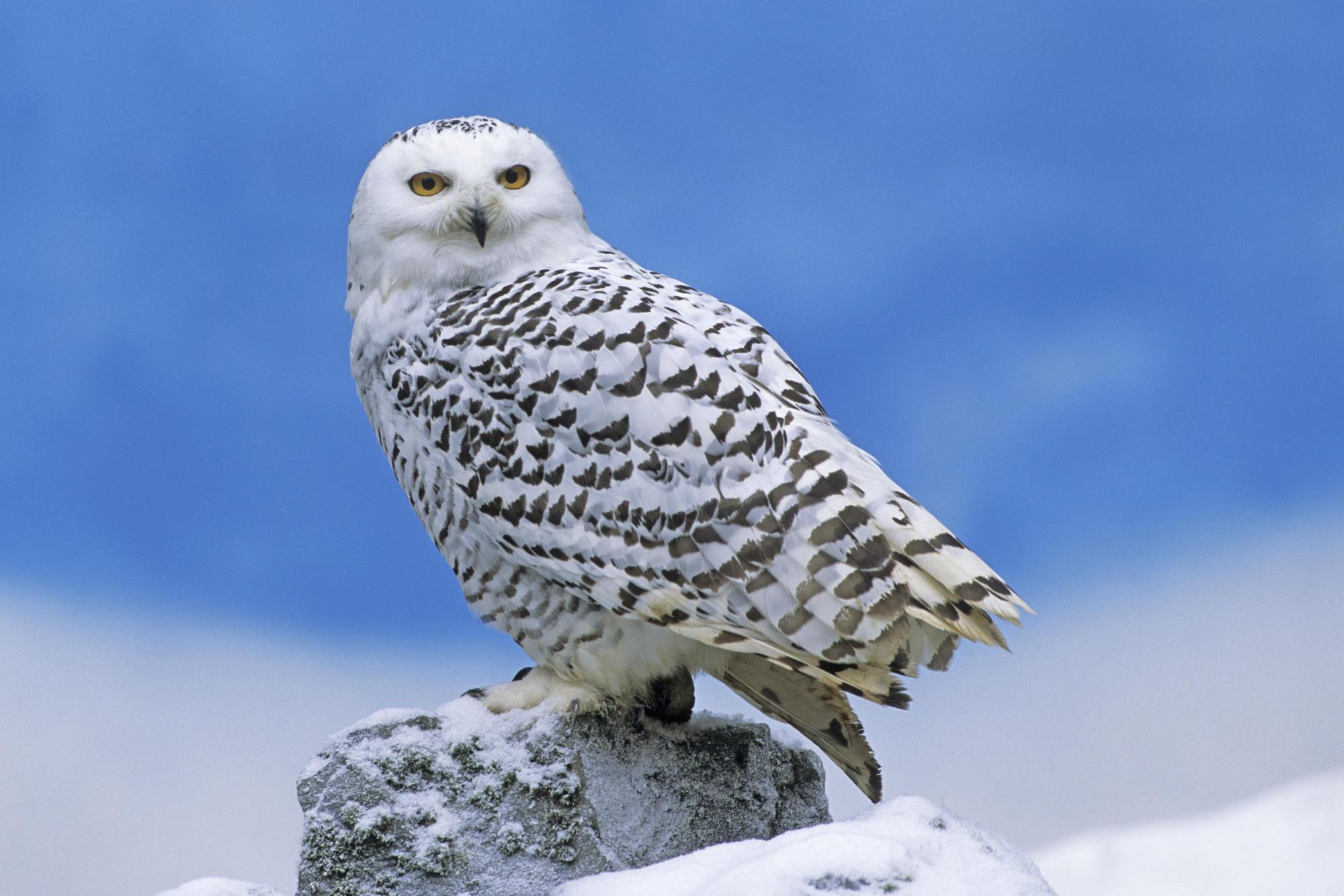 HD Wallpapers Snowy Owl