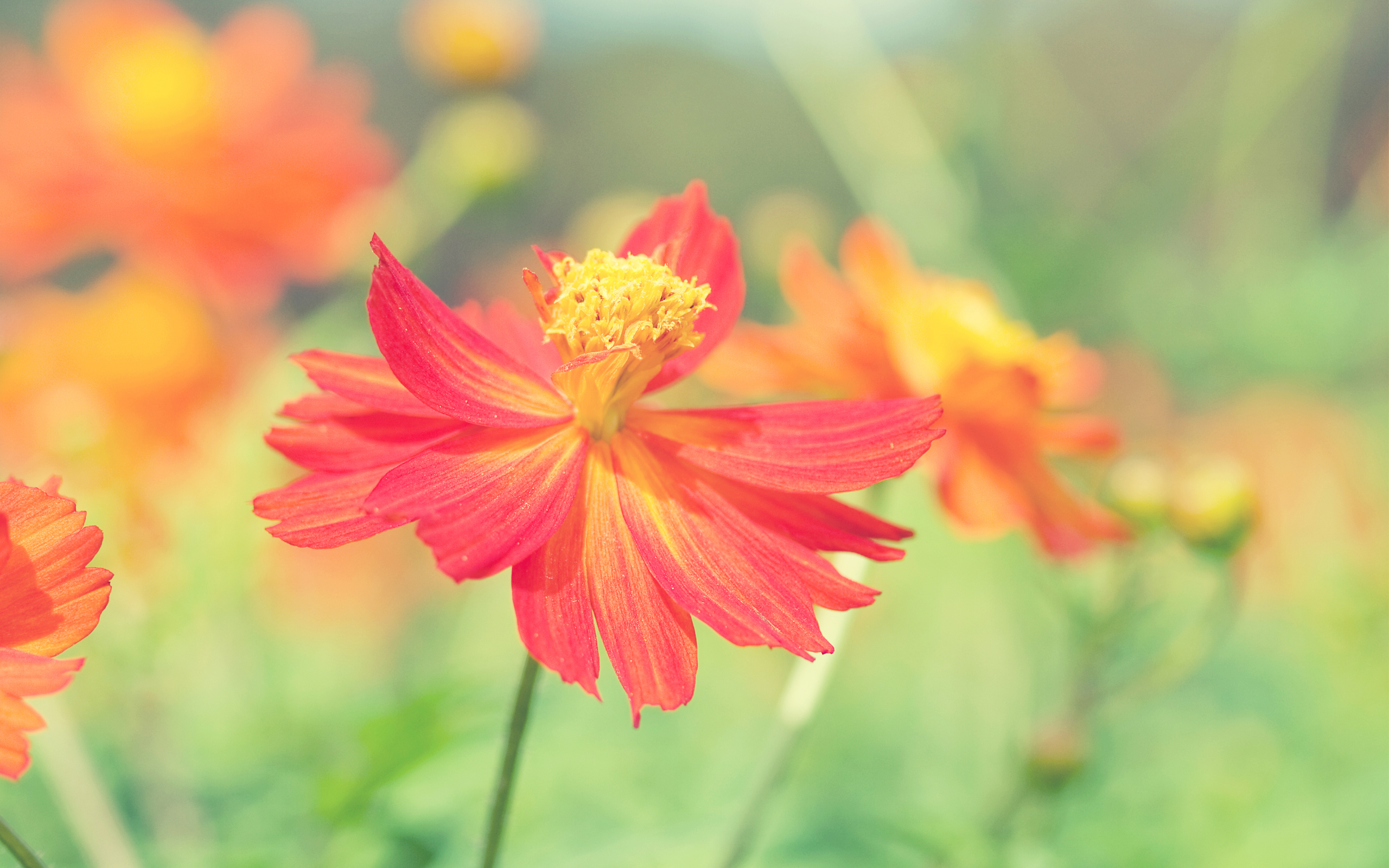 HD Wallpapers Cosmos Autumn Flower