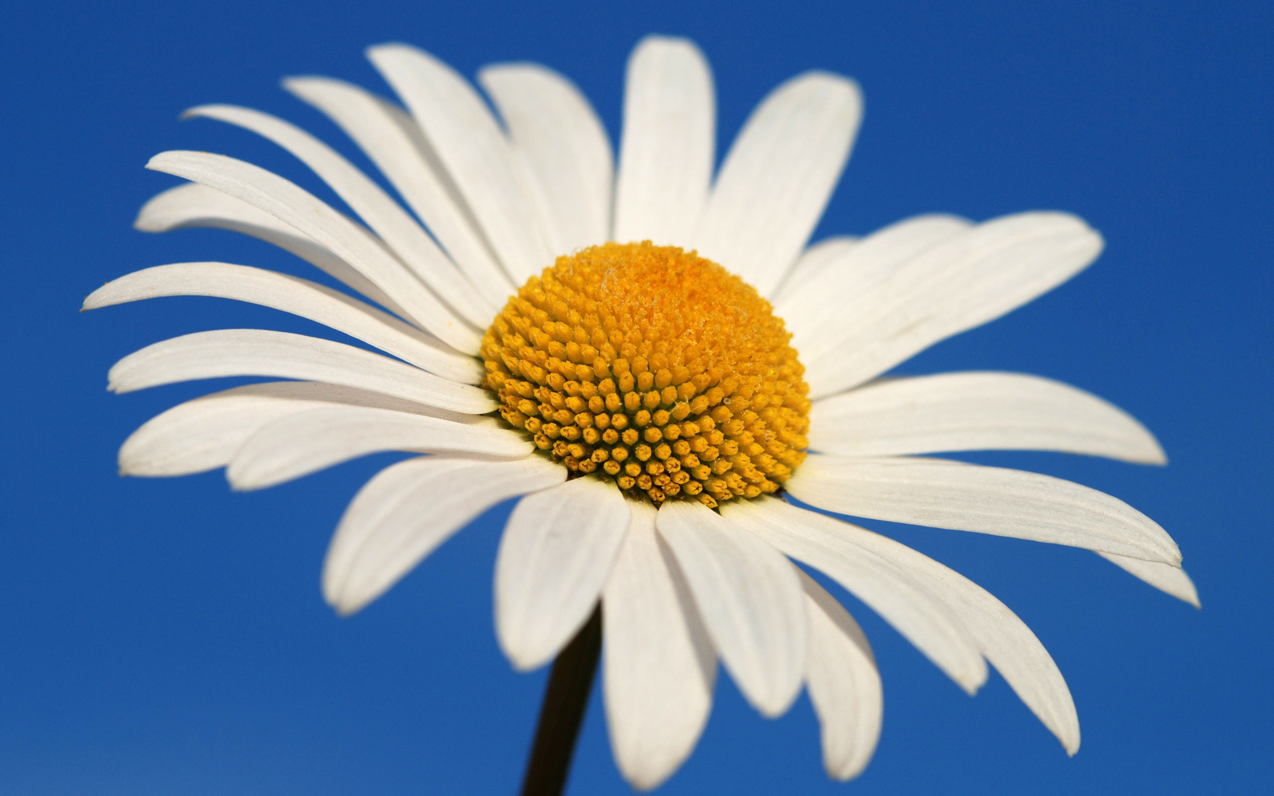 HD Wallpapers Glowing White Daisy