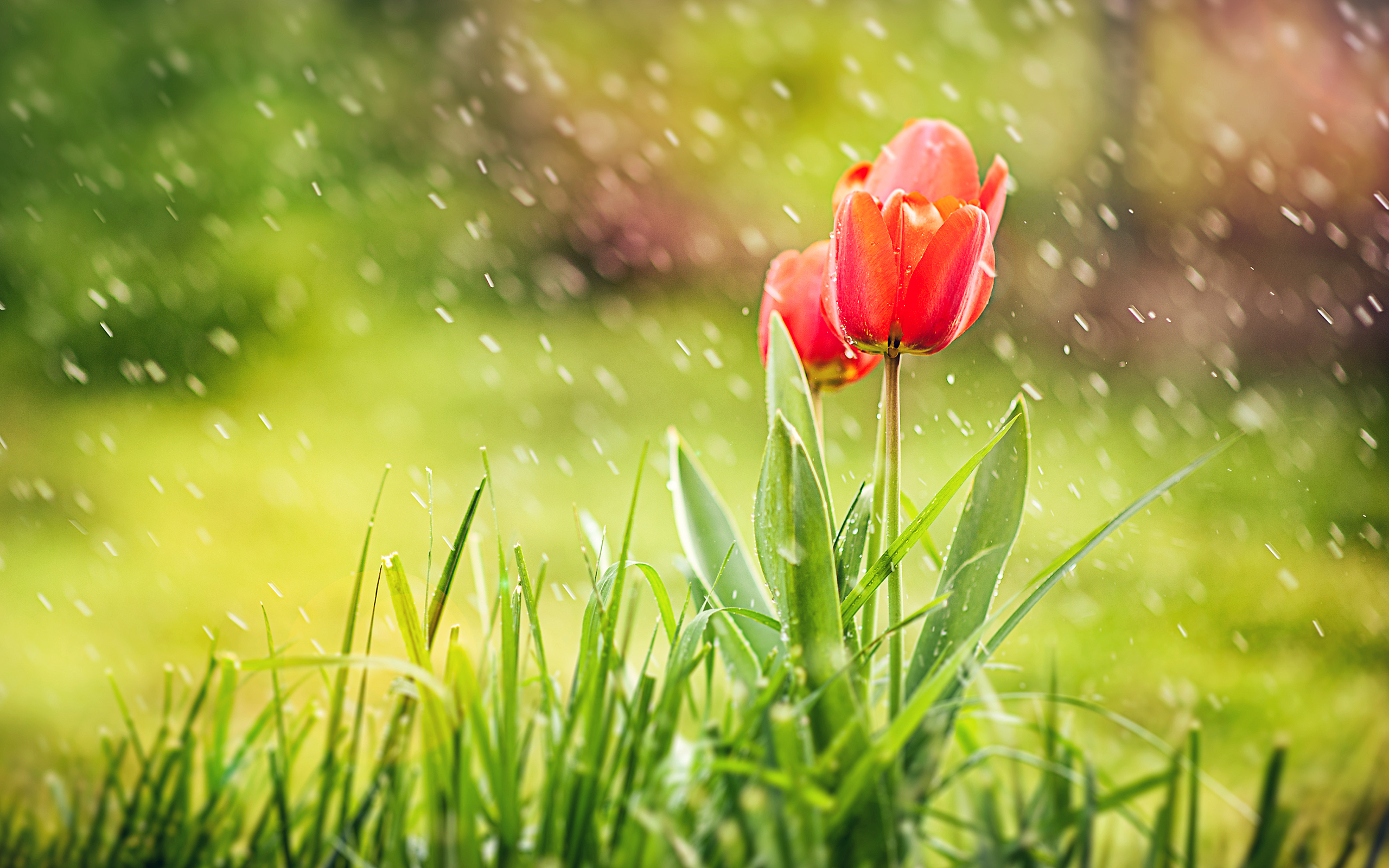 HD Wallpapers Red Tulip Rain