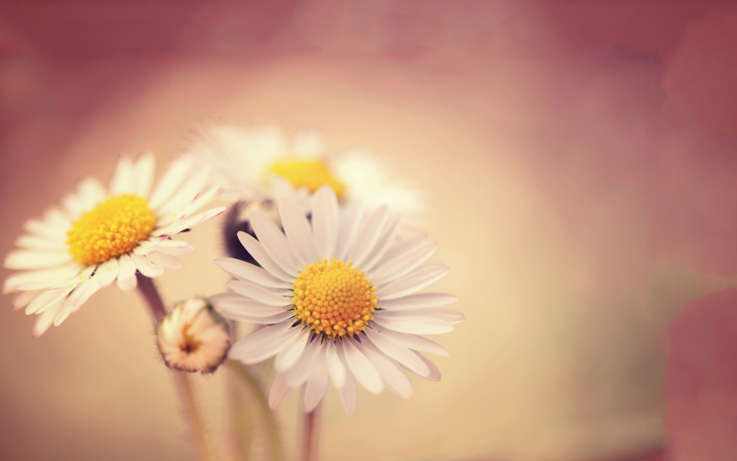 HD Wallpapers White Daisies