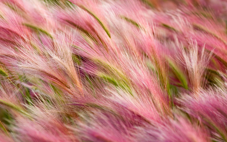 HD Wallpapers Foxtail Barley