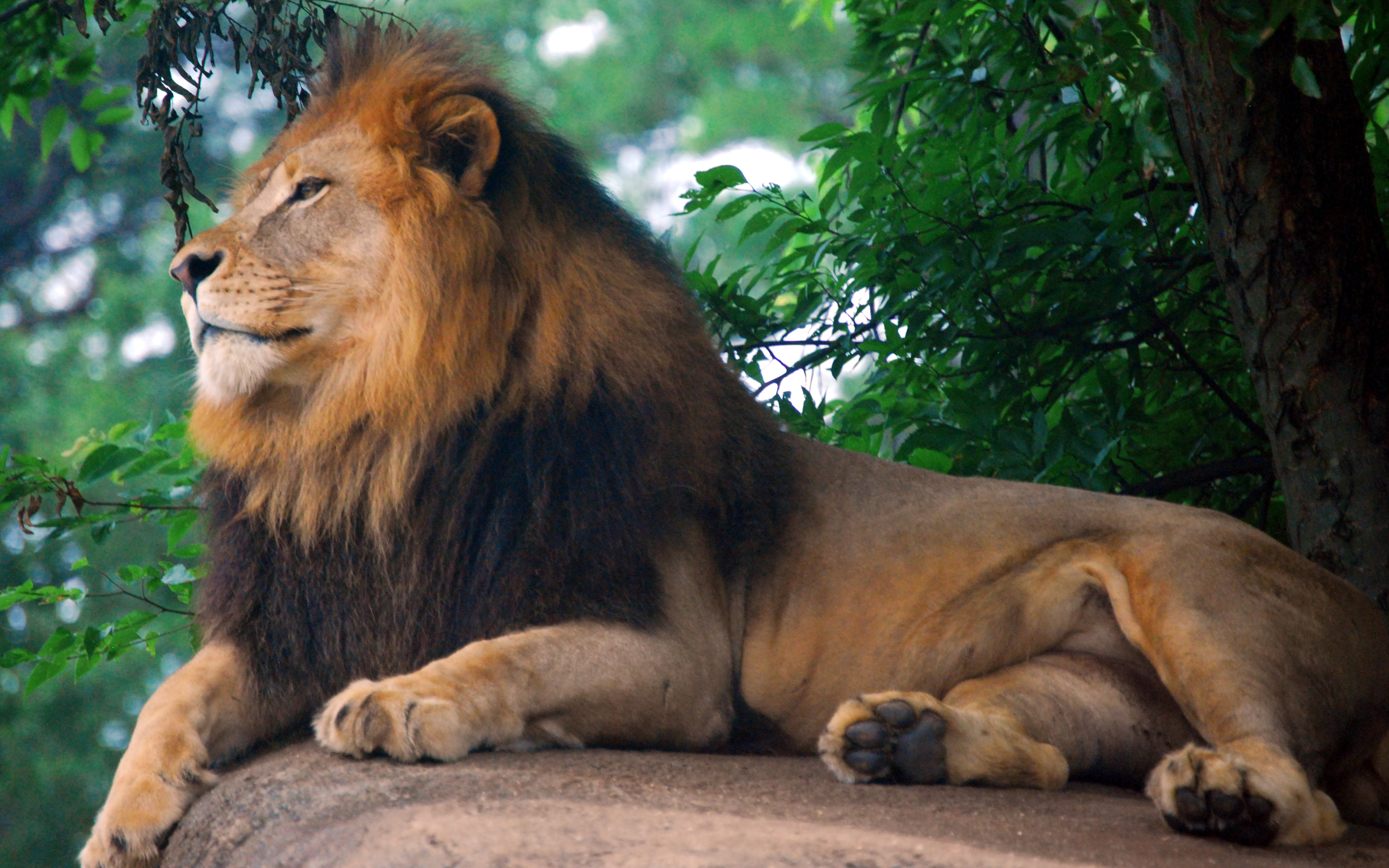 HD Wallpapers Lion King of Zoo