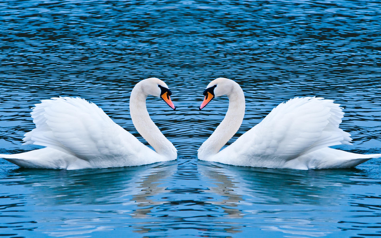 HD Wallpapers Swan Love
