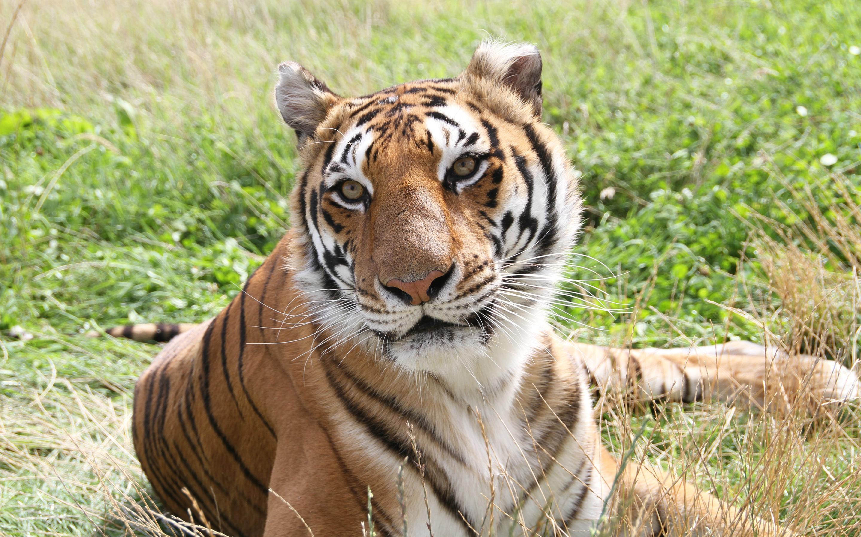 HD Wallpapers Tiger in Fields