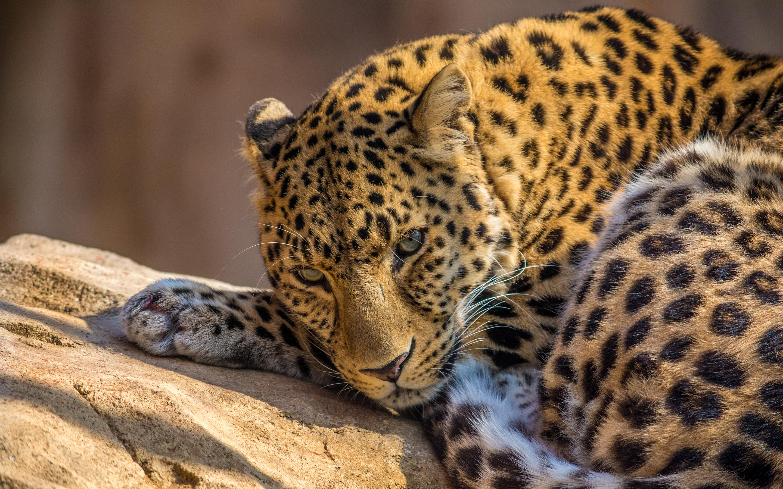 HD Wallpapers Zoo Leopard